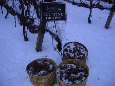 Quando a temperatura no vinhedo cai para –8°C, temperatura oficialmente determinada pela Vintners Quality Alliance (Canadá), a colheita pode ser iniciada (normalmente isso acontece à noite)