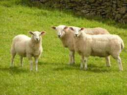 Ovelhas são usadas para o controle de ervas daninhas
