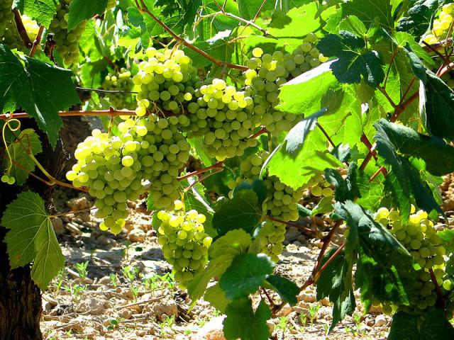 Uvas Brancas - conheça um pouco sobre elas!