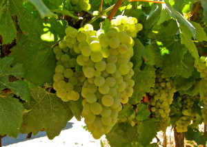 """A uva branca Chardonnay é conhecida como """"A Rainha das uvas brancas"""""""