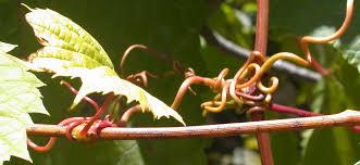 As gavinhas típicas de qualquer trepadeira servem  para os cachos se prenderem à estrutura metálica do vinhedo