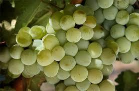 Excelentes vinhos são produzidos com a Sauvignon Blanc no Vale do Loire e em Bordeaux, na França
