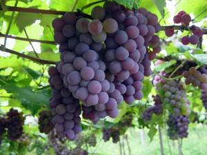 A Matéria Prima do Vinho - Uvas!