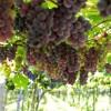uvas finas parana