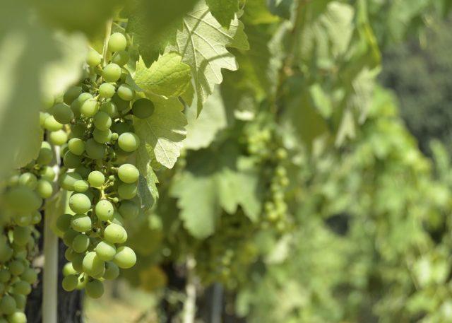 O artigo 2º da Lei 8.918/1994 prevê o registro necessário para comercialização de bebidas, mas exclui a incidência sobre bebidas derivadas da uva, entre elas o vinho.