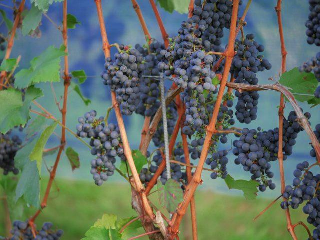 grapes-1717386_960_720