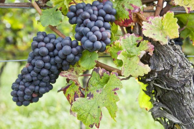 14 regiões vinícolas demarcadas, que detém cerca de 250 castas de uvas autóctones