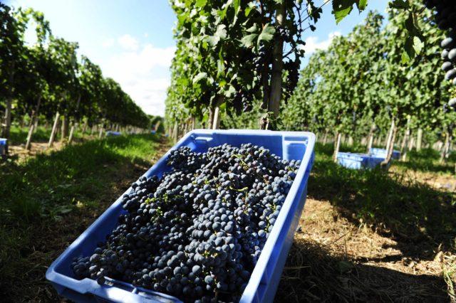 Colheita 2017: excelente, segundo enólogo italiano da Bueno Wines