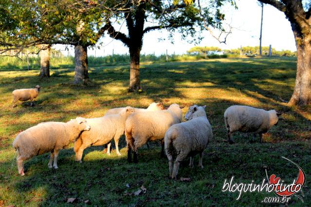 Vista matinal para as ovelhas que passeiam pela vinícola