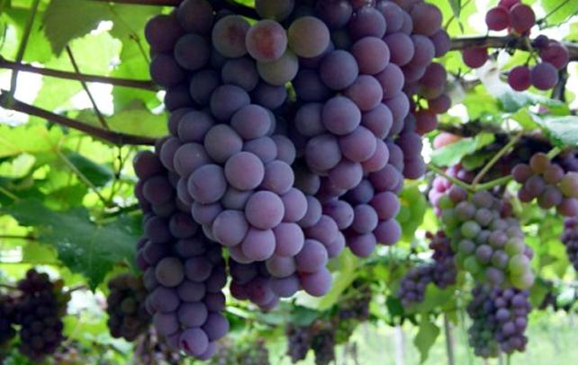 Aprenda o que é vitis vinifera no Blog Vinho Tinto
