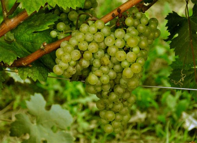A Vitovska, encontrada tanto no Friuli como na Eslovênia, produz vinhos de excelente nível, delicados, frescos, com aromas de flores brancas, pêras, amêndoas, mel, tons balsâmicos e uma mineralidade pronunciada