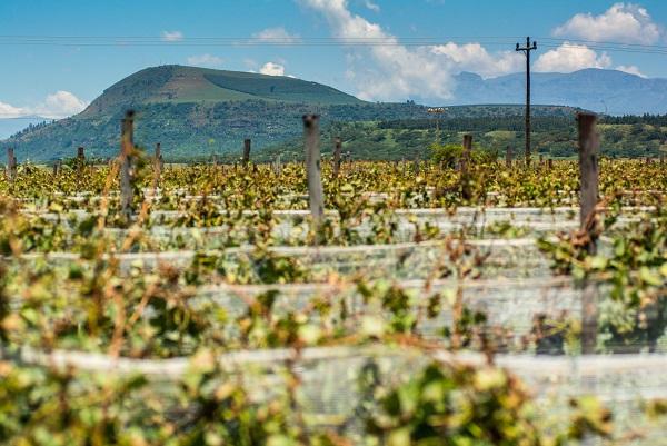 Cathedral Peak Wine State - Videiras plantadas aos pés da Montanha do Dragão, cerca de 1500 km de distância de Cape Town, África do Sul.