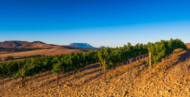 Vinhedos da Diemersdal com a Table Mountain ao fundo (uma das mais belas paisagens da África do Sul)