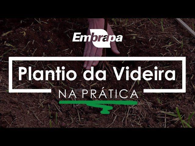 Plantio da Videira
