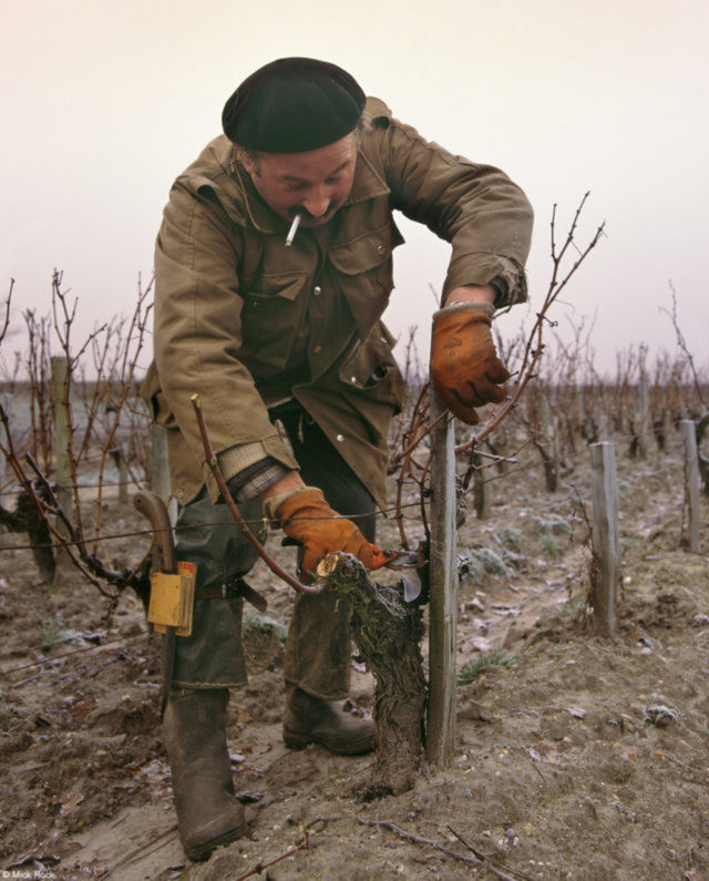 Vigneron Pruning Vines, do fotógrafo britânico Mick Rock Um viticultor poda suas videiras