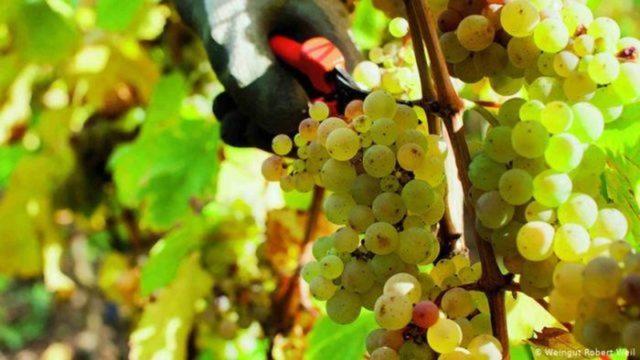 Colheita de uva Riesling, na Alemanha, melhorou com o aquecimento global  (FOTO: Reprodução)