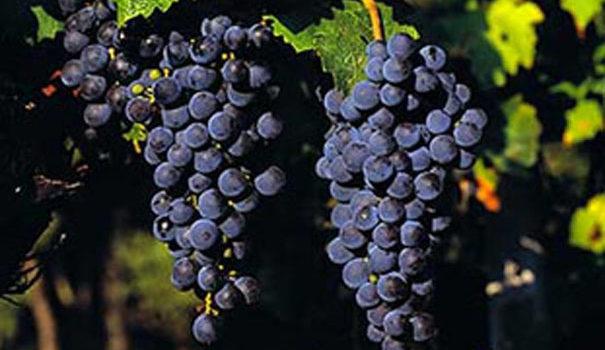 Cabernet Sauvignon - dia 29 de agosto é seu dia
