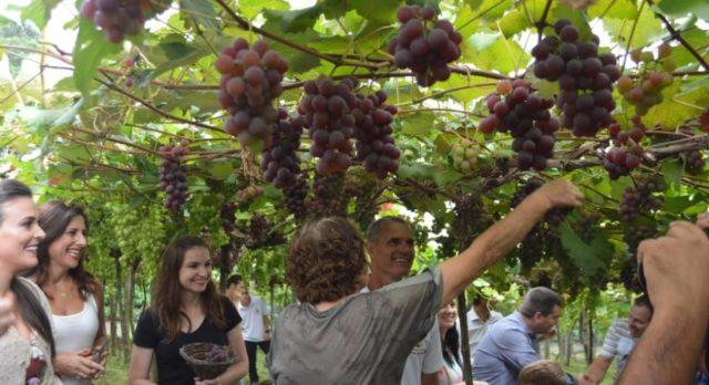 cenas colheita de uva